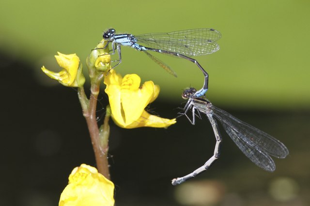 Skimming Bluet Damselflies Mating