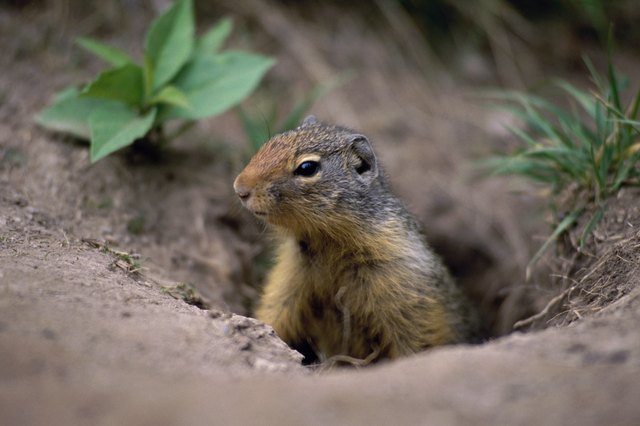 Ground Squirrel in a hole