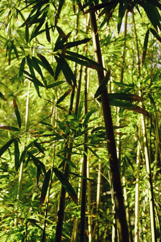 Bamboo forest, Maui, Hawaii