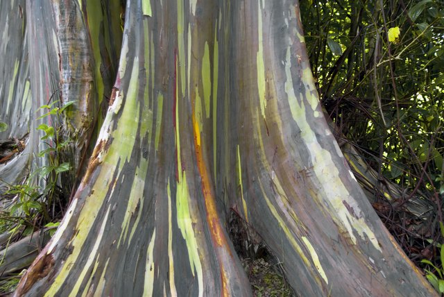 Rainbow Eucalyptus Facts   Hunker