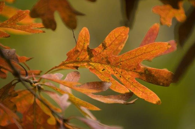 Oak leaves of red