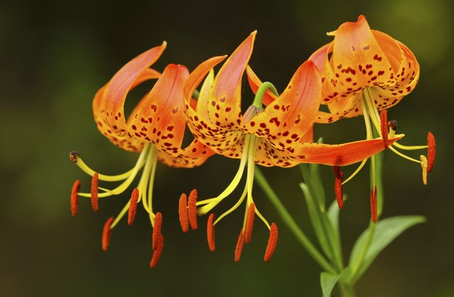 Turk's Cap Lilies Touching