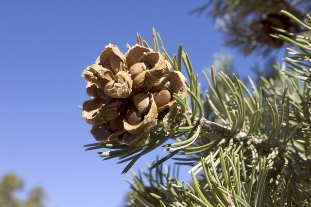 Pinyon Cone with Pine Nuts