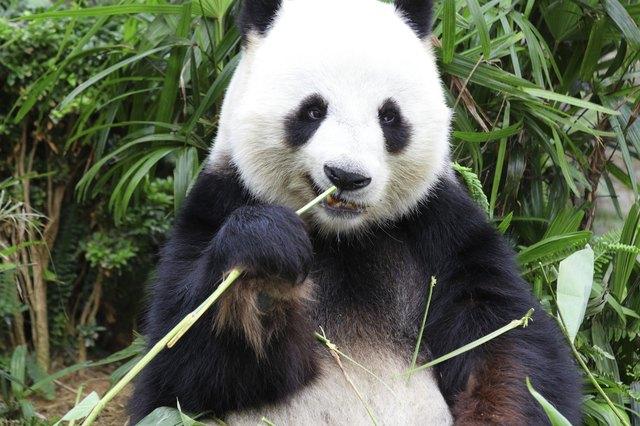 panda eat