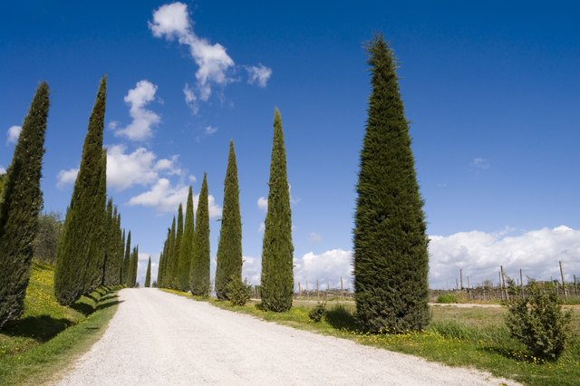 avenue lined with cypress trees in Tuscany
