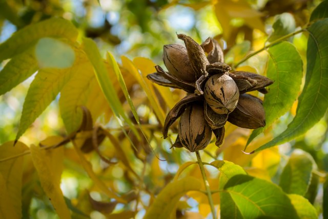 Pecan Nut Cluster surrounded with yellow and green leaves
