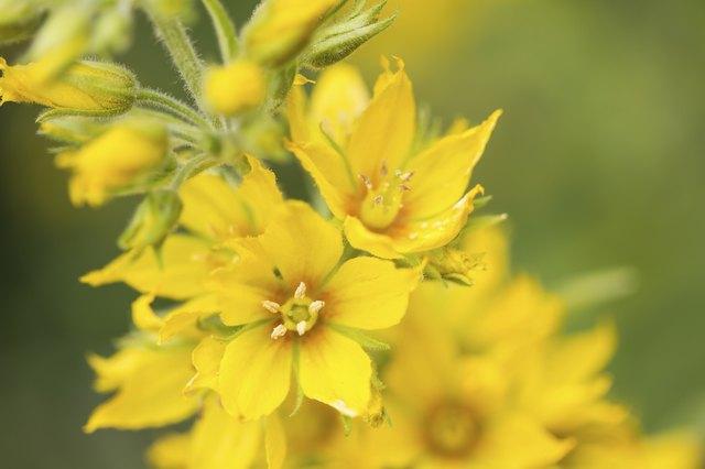 Lysimachia punctata flower (Garden Loosestrife), shallow DOF