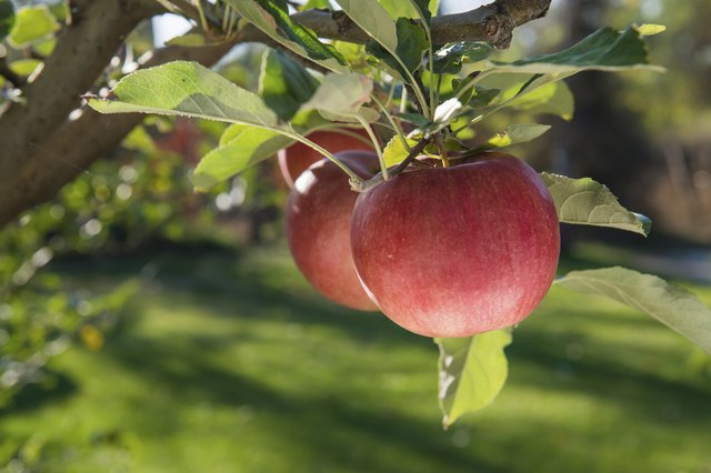 Red, ripe apple fruits on a branch