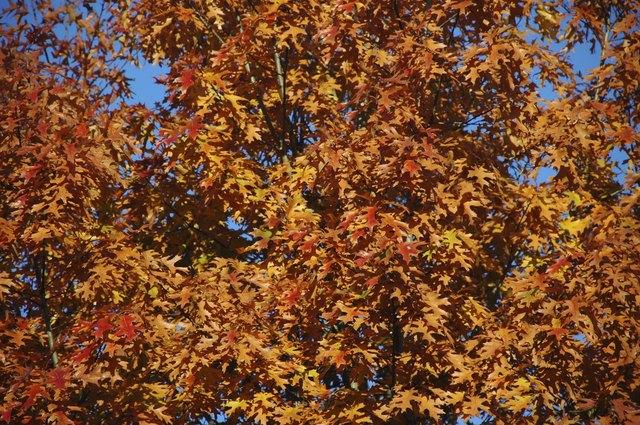 Quercus palustris closeup in autumn