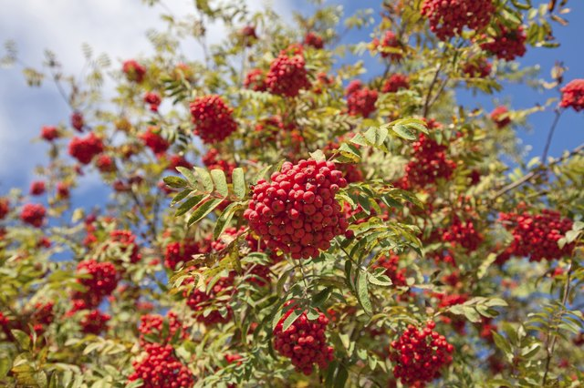 Mountain ash with red berries