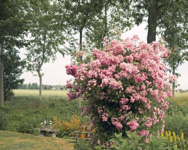 Pink rose shrub in full bloom
