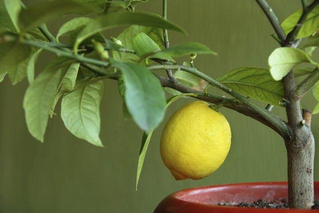Lemon on lemon-tree