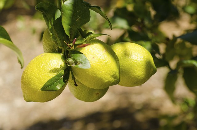 Pictures Of Lemon Tree Diseases