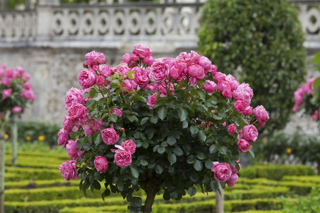 Bush of beautiful pink roses
