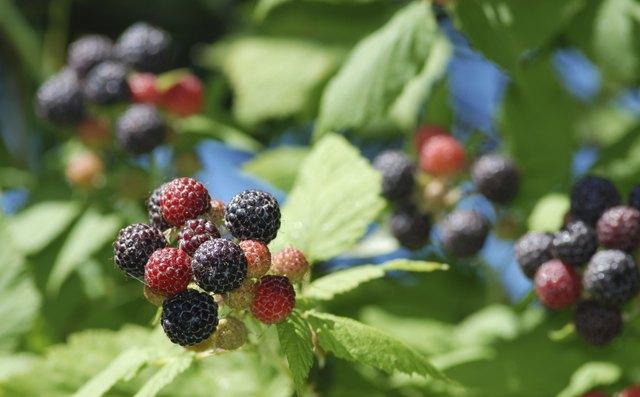 Wild Blackberry Leaves How to Kill Blackberry...