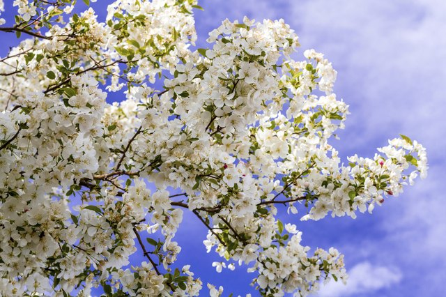 White Crab Apple Trees in Spring Bloom