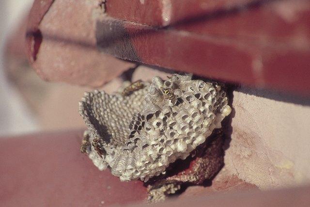 Vespidae nest