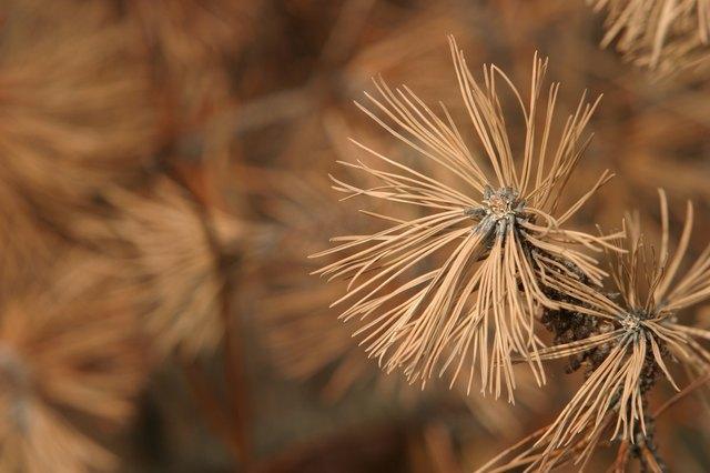 Dead dry pine needles