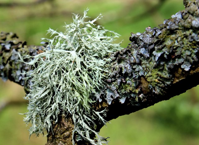 Close-up image of silver lichen plants growing on tree branch
