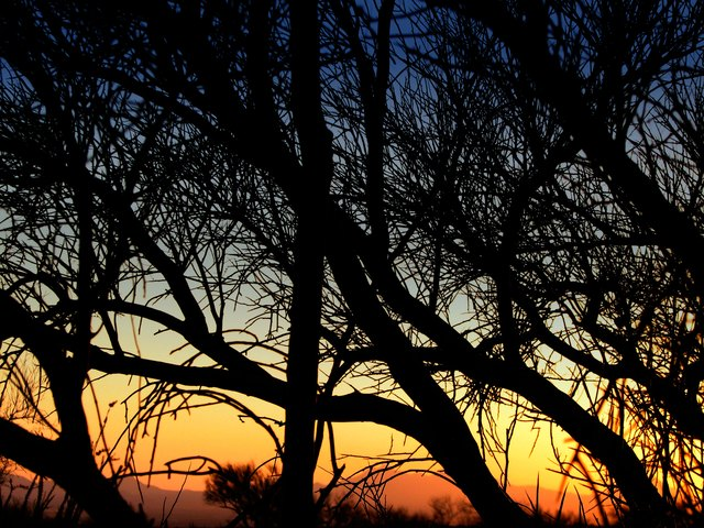 Desert Sunset Palo Verde Tree Silhouette