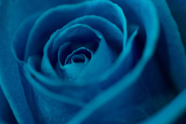 What Does The Blue Rose Represent Hunker