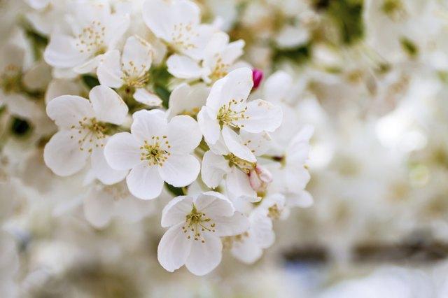 White flowering trees in the spring hunker white crab apple trees in spring bloom mightylinksfo