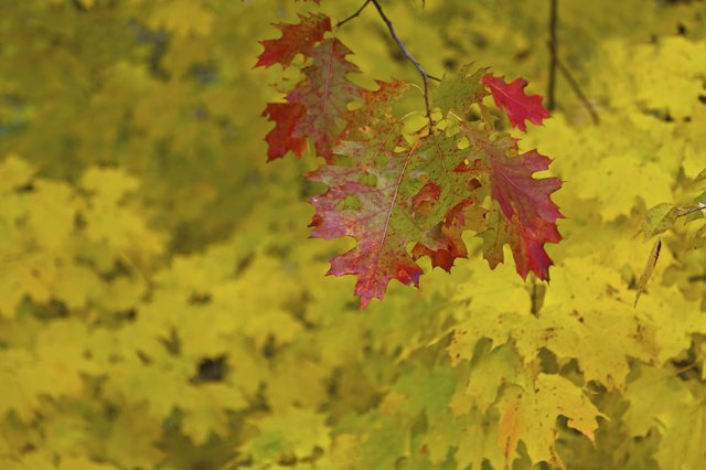 Colorful Oak and maple leaves changing colors red yellow