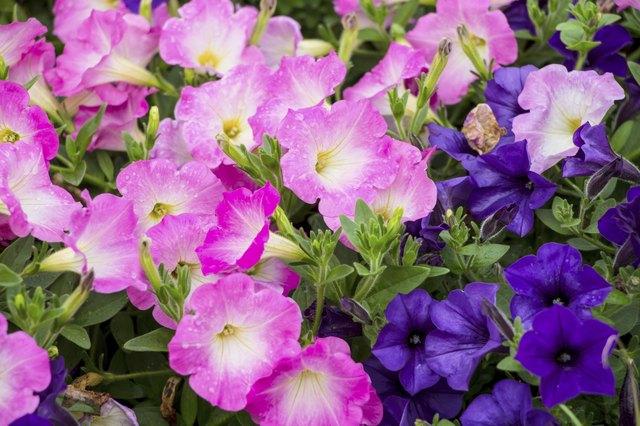 Colorful petunia flowers
