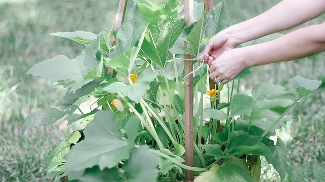 Tying zucchini stalks to wooden stakes