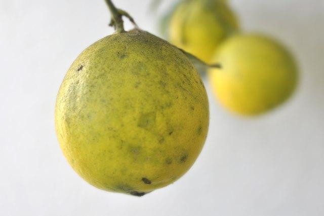 How To Kill Black Mold On Citrus Trees Hunker