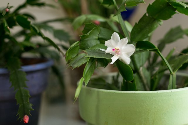 How often should i water my christmas cactus hunker - How often should you water your garden ...