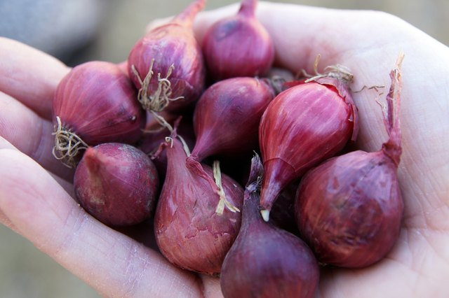 How Grow Red Onions From Bulbs Hunker