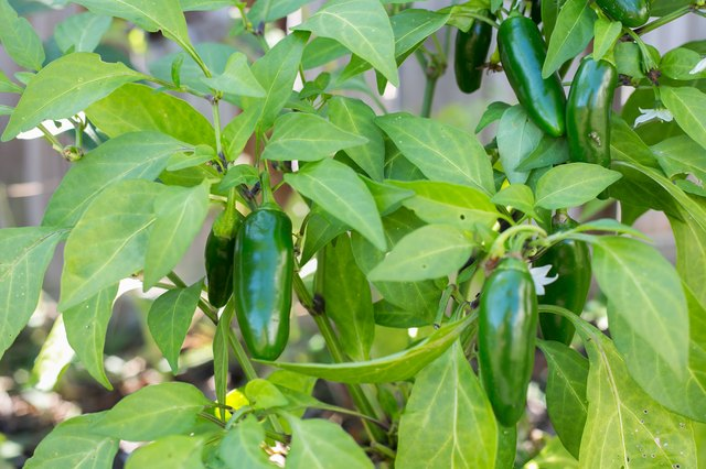 How to Grow Jalapeno Peppers | Hunker