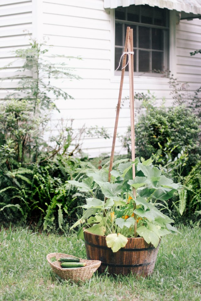 Vertical zucchini plant in whiskey barrel container