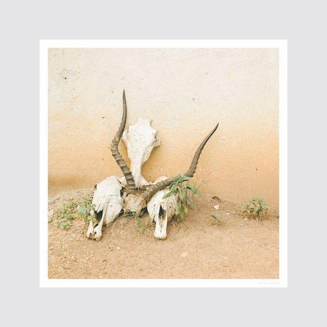 photograph of three cow skulls