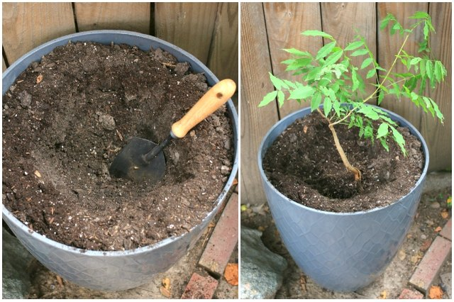 Planting a wisteria starter vine in a potted container