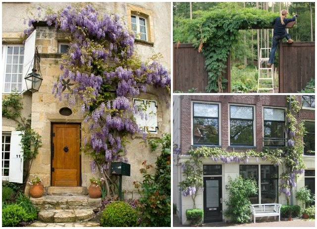 How to grow wisteria vines