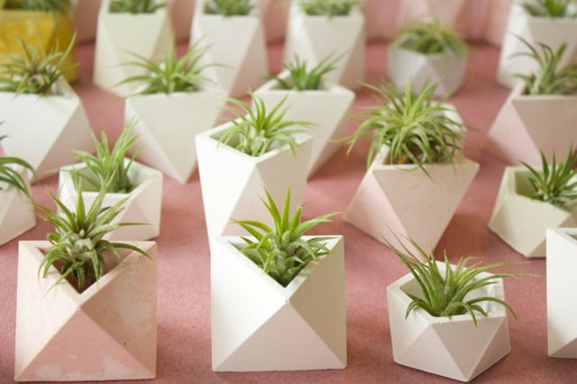 Array of air plants in small white geometric pots