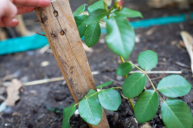 how to grow roses from cuttings using potatoes