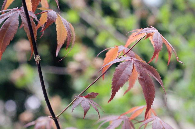 How to Care for a Dwarf Japanese Maple Tree | Hunker