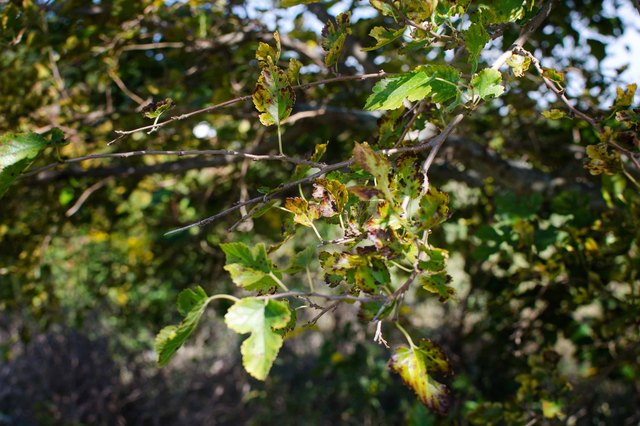 How To Prune A Mulberry Tree Hunker
