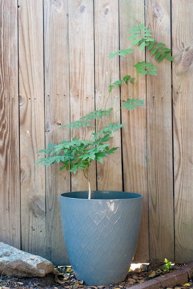 Wisteria plant growing in a pot