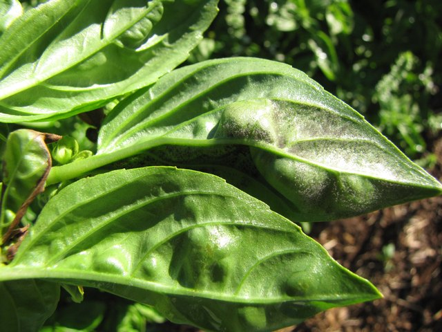 Basil leaves with graying mildew on leaves.