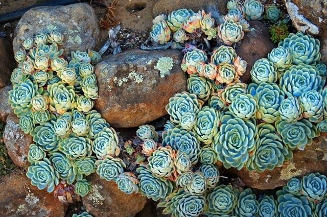 ghost plant succulents desert plants for landscaping