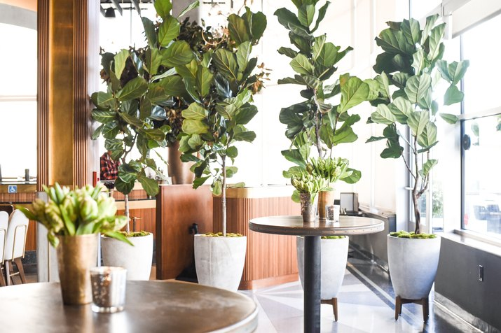 Fiddle leaf figs in planters.